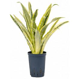 Sansevieria lauren 15/19 výška 55 cm