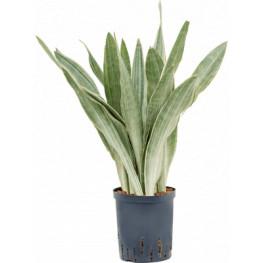 Sansevieria metallica 22/19 v.70 cm