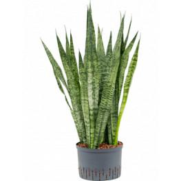 Sansevieria zeylanica 28/19 výška 100 cm