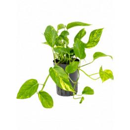 Scindapsus aureus Hanger Pots. 13/12 výška 25 cm