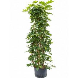 "Schefflera arboricola ""Gold capella"" branched column 28/19 výška 170 cm"