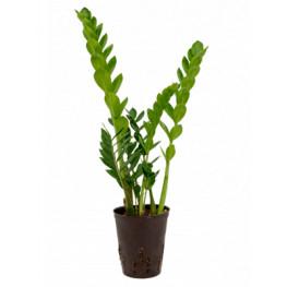 Zamioculcas zamiifolia 15/19 výška 55 vm