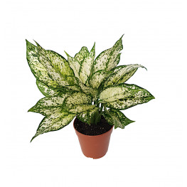 Aglaonema first diamond  12x35 cm