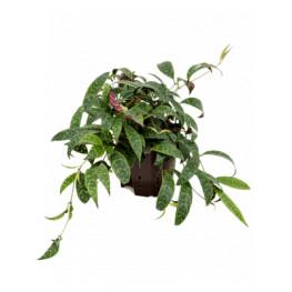 Aeschynanthus marmoratus 13/12 výška 20 cm