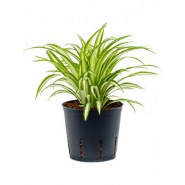Chlorophytum comosum variegatum 13/12 v. 30 cm