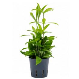 Dracaena surculosa 2pp Pots. 13/12cm v.30 cm