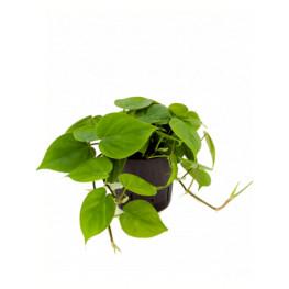 Philodendron scandens hanger 13/12 výška 25 cm