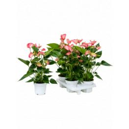 """Anthurium andraeanum """"Livium"""" 4 tray Bush Pink 14x50 cm"""