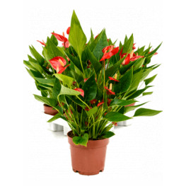 Anthurium andraeanum Million Flower 12x35 cm