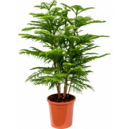 Araucaria heterophylla 28 cm v.115 cm