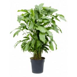 Caryota mitis 24x100 cm