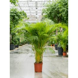 Areca Dypsis lutescens 27x150 cm