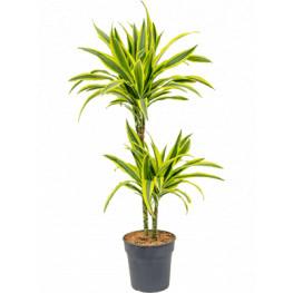 "Dracena - Dracaena fragrans ""Lemon Lime"" 19x85 cm"