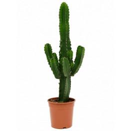 Euphorbia ingens Branched 24x75 cm