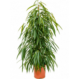 "Fikus - Ficus binnendijkii ""Allii"" Tuft 27x135 cm"