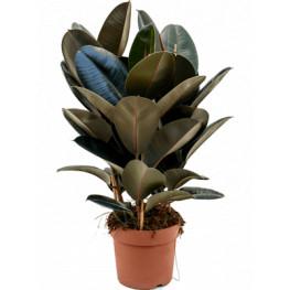 Ficus elastica Abidjan 34x110 cm
