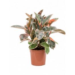 "Ficus elastica ""Belize"" Bush 21x55 cm"