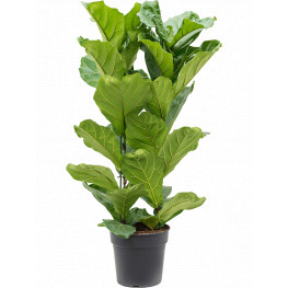 Ficus lyrata Tuft Pots.30x120 cm