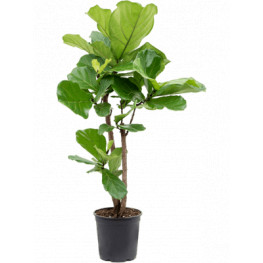 Fikus - Ficus lyrata Branched 27x140 cm