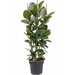 Ficus elastica robusta 34x135 cm