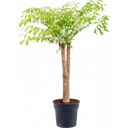 Heteropanax chinensis Stem Pots.29/120 cm