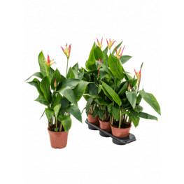 "Heliconia ""Hawai"" yellow 17x60 cm"