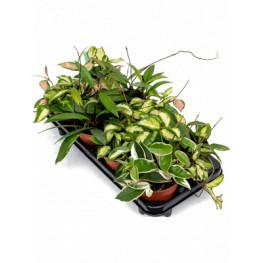 Hoya Carnosa mix 12x15 cm