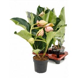 Medinilla magnifica 4+ flowers 17x65 cm