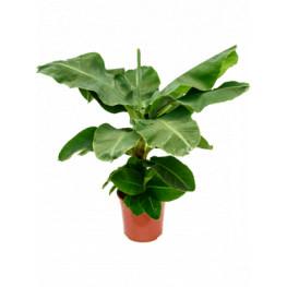 Musa tropicana 27x75 cm