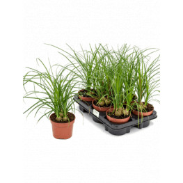 Nolina recurvata 6/tray 3pp 12x45 cm