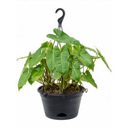 """Philodendron """"Burle marx"""" hanger 28x50 cm"""