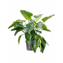 "Philodendron ""Green beauty"" Bush 32x110 cm"
