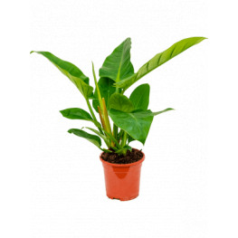 Philodendron imperial green 19x65 cm