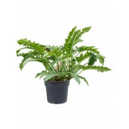 Philodendron narrow Bush Pots. 35 cm v.80 cm