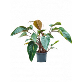 """Philodendron """"Red Beauty"""" Bush 32x110 cm"""