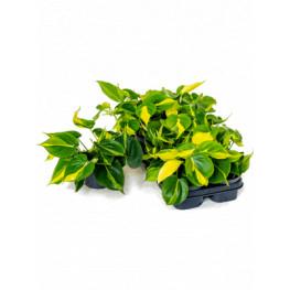 Philodendron scandens brasil 12x20 cm
