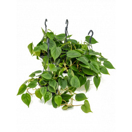 Philodendron scandens 15x30 cm