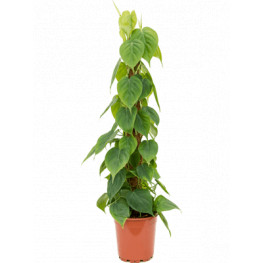 Philodendron scandens mosspole stlp 24x120 cm