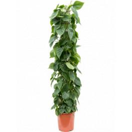 Philodendron scandens Column 27x150 cm