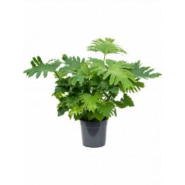 Philodendron bipinnatifidum ´Shangri-La´ 17x55 cm