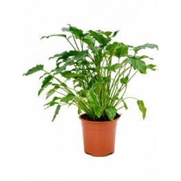 Philodendron xanadu 30x70 cm