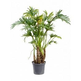 Philodendron xantal bush pots.32x 110 cm
