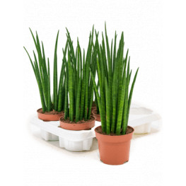Sansevieria mikado 6/tray 12x40 cm