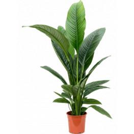 Spathiphyllum sensation bush pots.24cm v. 140 cm