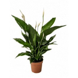 "Spathiphyllum ""Sweet chico"" 13x55 cm"