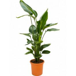 Strelitzia nicolai 26x105 cm