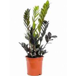 Zamioculcas zamiifolia raven 17x65 cm