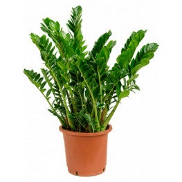 Zamioculcas zamiifolia 30x90 cm