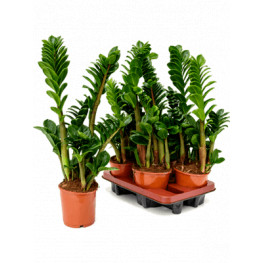 Zamioculcas zamiifolia 14x55 cm
