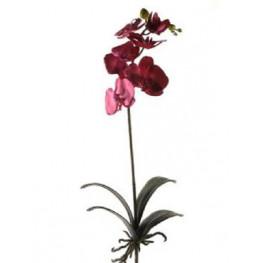 Phalaenopsis Bush beauty tmava cyklamenova 70 cm